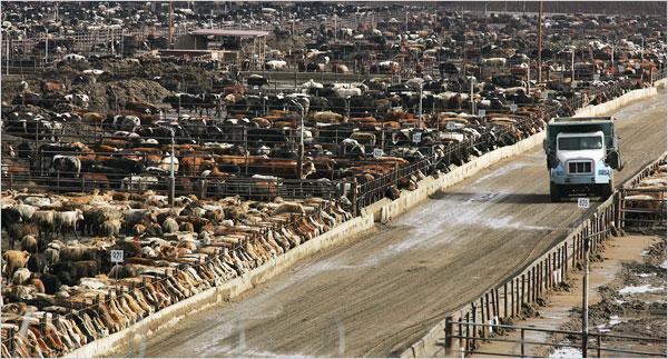 élvage intensif de bovins aux Etats Unis