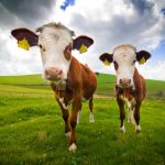 La guerre de la viande (et nous au milieu)