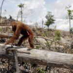 Barre chocolatée, déforestation, et orang-outangs