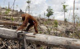 Un orang outang dans une future plantation d'huile de palme